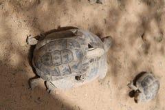 在一只大乌龟的小幼小乌龟 免版税图库摄影