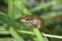 在一只大布朗青蛙的布朗眼睛在多沼泽的支流 免版税图库摄影