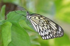 在一只大树若虫蝴蝶的美妙的仔细的审视 图库摄影