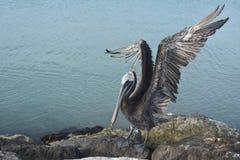 在一只大鹈鹕鸟的美丽的延长的翼 免版税库存照片