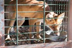 在一只小笼子包含的Fox,对动物的惨暴 免版税库存图片