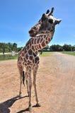 在一只开放笼子的长颈鹿 免版税图库摄影