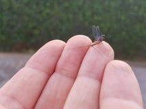 在一只手的手指栖息的一次短暂飞行在采取飞行前 免版税库存图片