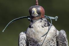 在一只旅游猎鹰的皮革猎鹰训练术敞篷 库存照片