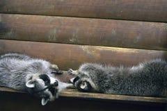 在一只木笼子的两头滑稽的蓬松浣熊 库存照片