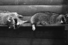 在一只木笼子的两头滑稽的蓬松浣熊 免版税图库摄影