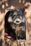 在一只泥泞的笼子束缚的粗野的老狗看起来哀伤 免版税库存图片