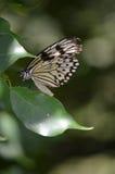 在一只白色树若虫蝴蝶的残破的翼 免版税库存图片