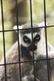 在一只笼子的一只狐猴在动物园里 库存图片
