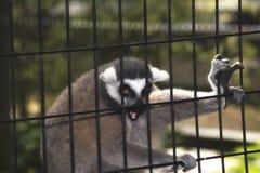 在一只笼子的一只狐猴在动物园里 图库摄影