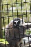 在一只笼子的一只狐猴在动物园里 免版税库存图片