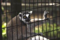 在一只笼子的一只狐猴在动物园里 库存照片