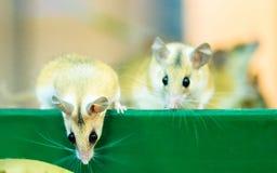 在一只笼子的小的闪耀老鼠在宠物商店 免版税库存图片