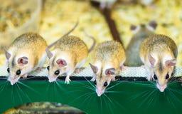 在一只笼子的小的闪耀老鼠在宠物商店 免版税库存照片