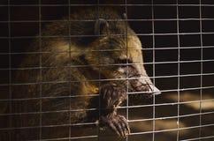 在一只笼子的浣熊在动物园 库存照片