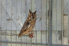 在一只笼子的猫头鹰在动物园 库存图片