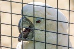 在一只笼子的白色美冠鹦鹉鹦鹉在动物园里 免版税库存图片