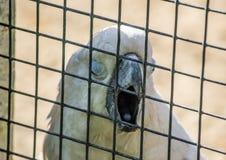在一只笼子的白色美冠鹦鹉鹦鹉在动物园里 图库摄影