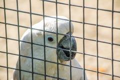 在一只笼子的白色美冠鹦鹉鹦鹉在动物园里 免版税库存照片