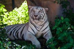 在一只笼子的白色老虎在一个动物园里在泰国 自然的和谐是f 免版税库存照片