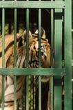 在一只笼子的皇家孟加拉老虎在动物园 免版税库存照片