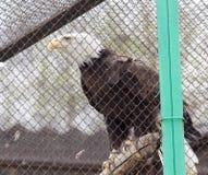 在一只笼子的美国老鹰在动物园里 库存照片