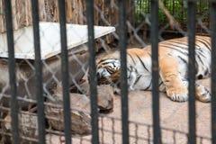 在一只笼子的老虎在动物园在一个夏天 免版税库存照片