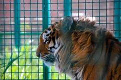 在一只笼子的老虎在动物园里 免版税库存照片