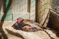 在一只笼子的野鸡在动物园 免版税库存图片