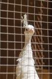 在一只笼子的野鸡在动物园 库存图片
