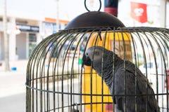 在一只笼子的非洲人般的灰色鹦鹉在街道上 图库摄影