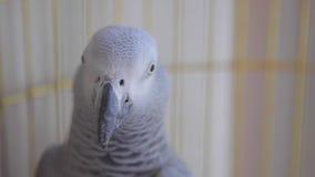 在一只笼子的鹦鹉在家关闭 影视素材