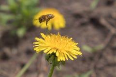 在一只美丽的好日子蜂蜜蜂- Apis mellifera -从蒲公英花收集蜂蜜-蒲公英officinale 库存照片