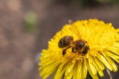 在一只美丽的好日子蜂蜜蜂- Apis mellifera -从蒲公英花收集蜂蜜-蒲公英officinale 库存图片
