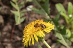 在一只美丽的好日子蜂蜜蜂- Apis mellifera -从蒲公英花收集蜂蜜-蒲公英officinale 图库摄影