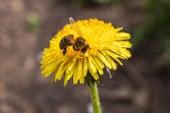 在一只美丽的好日子蜂蜜蜂- Apis mellifera -从蒲公英花收集蜂蜜-蒲公英officinale 免版税库存照片