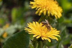 在一只美丽的好日子蜂蜜蜂- Apis mellifera -从蒲公英花收集蜂蜜-蒲公英officinale 免版税图库摄影