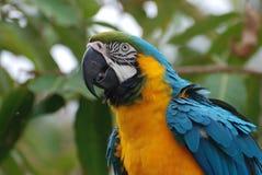 在一只蓝色和黄色金刚鹦鹉的被翻动的羽毛 图库摄影