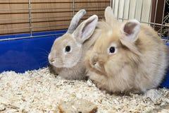 在一只蓝色笼子的金黄兔子 孩子的家养的逗人喜爱的宠物 库存照片