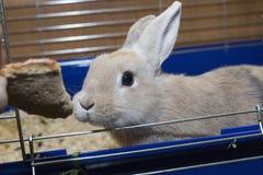 在一只蓝色笼子的金黄兔子 孩子的家养的逗人喜爱的宠物 免版税图库摄影
