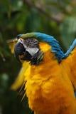 在一只蓝色金金刚鹦鹉的被翻动的羽毛 免版税库存图片
