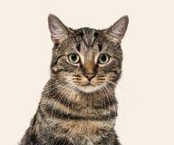在一只镶边混杂品种猫(2岁)的特写镜头,米黄backg 库存照片