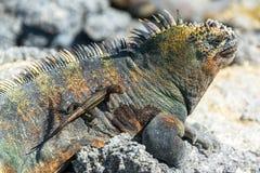 在一只鬣鳞蜥的蜥蜴在加拉帕戈斯 免版税库存照片