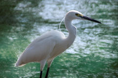 在一只鸟前面的白色起重机在曼谷 库存照片