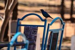 在一只鸟和一把椅子的蓝色颜色在非洲 免版税图库摄影