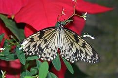 在一品红的蝴蝶 库存照片