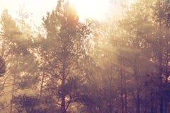 在一场早晨雾的树与godrays 免版税图库摄影