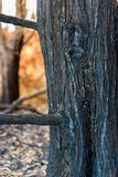 在一场森林火灾以后的被烧的树在科孚岛希腊 库存照片