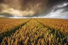在一场风暴期间的成熟的玉米在领域 图库摄影