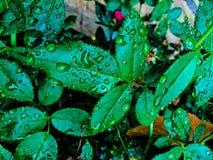 在一场暴雨以后的叶子与雨珠 库存照片